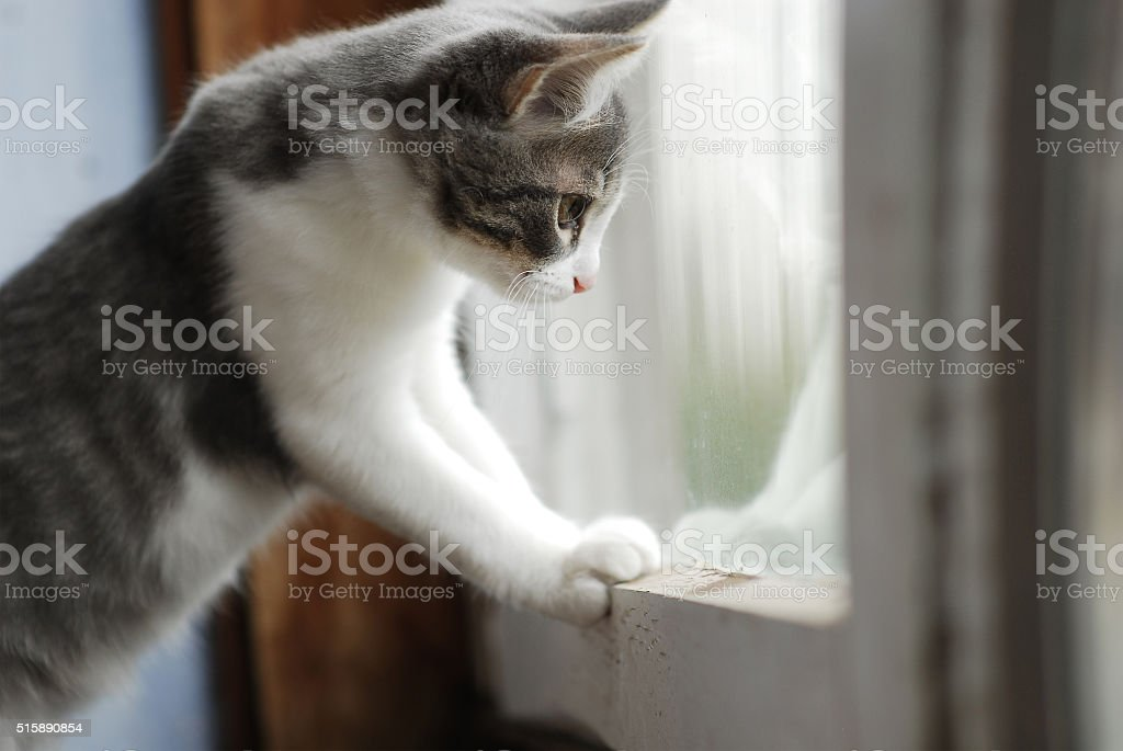 White and grey little kitty looks in balcony window stock photo