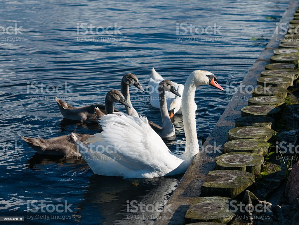 White and Grey Swan family on blue water stock photo