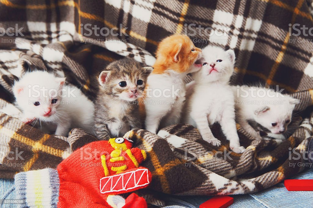 White and orange newborn kitten in a plaid blanket stock photo