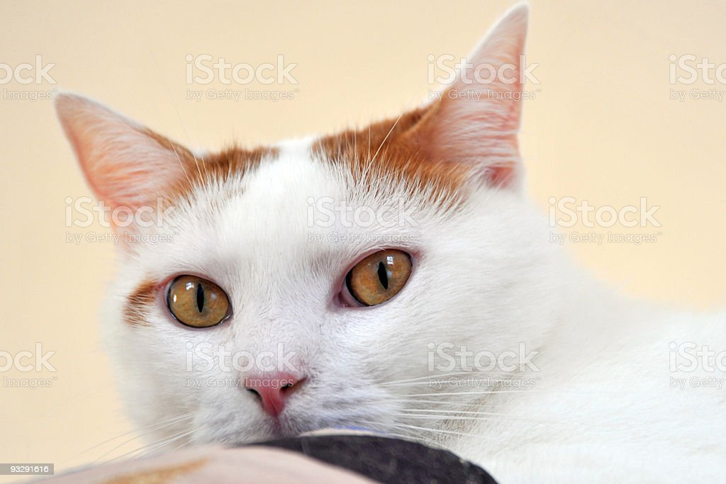 white and orange spotted cat stock photo