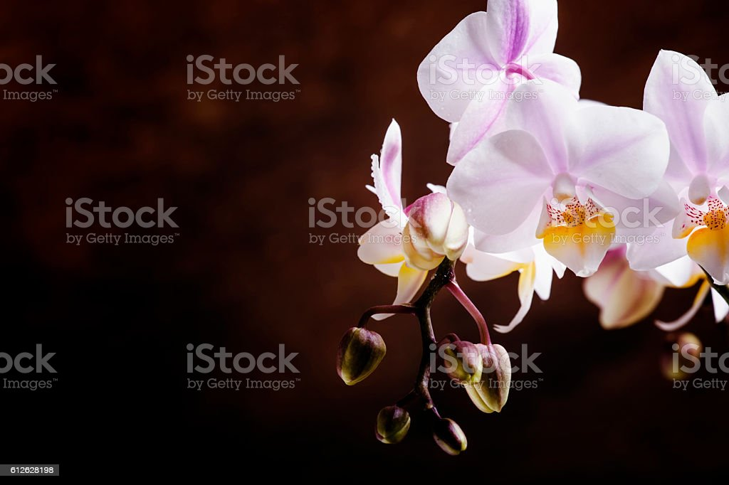 White and pink blooming orchid stock photo
