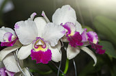 white and pink Cattleya orchid flower