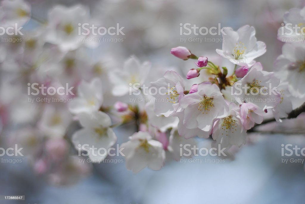 White and Pink Cherry Blossoms, Springtime in Washington DC royalty-free stock photo