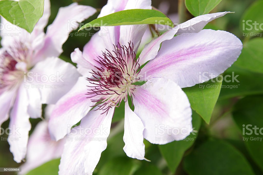 White and pink clematis flowers closeup stock photo