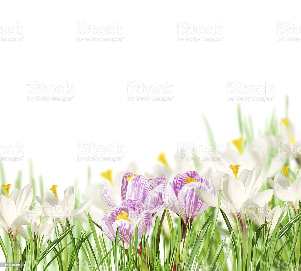 white and pink crocuses royalty-free stock photo
