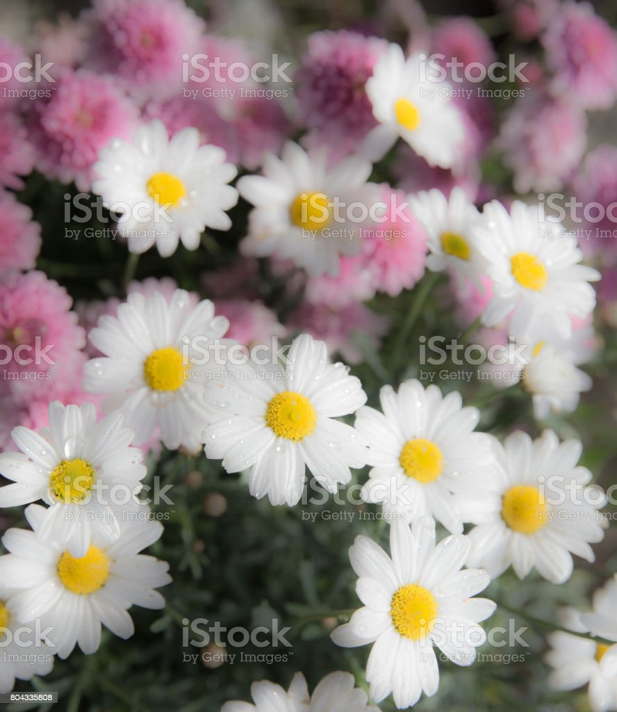 White and pink flowers - declarified background image stock photo