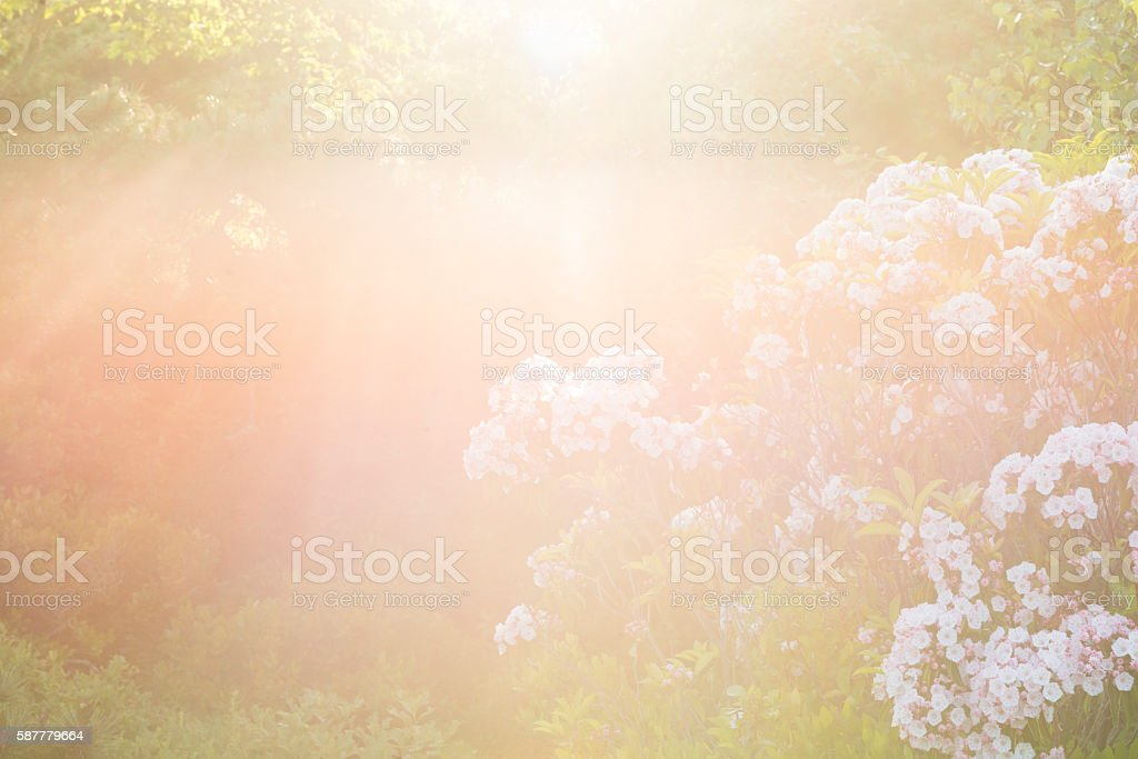 White and Pink Mountain Laurel Growing in Summer Forest Landscape stock photo