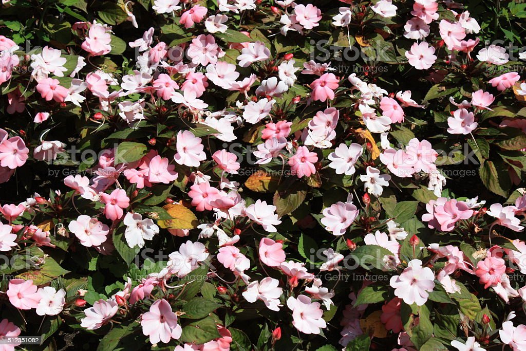 White and pink New Guinea Impatiens stock photo
