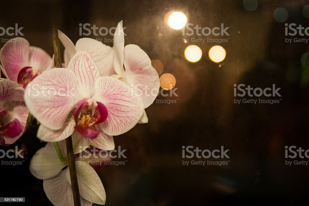 Blanc et rose Orchidée photo libre de droits