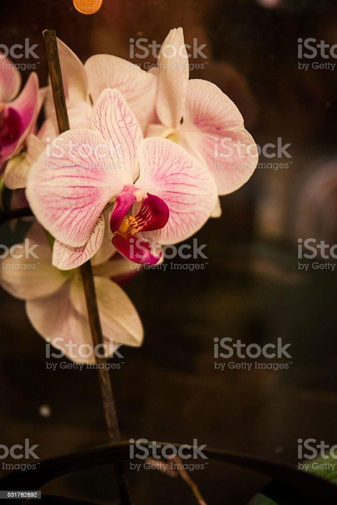 Blanc et rose Orchidée photo libre de droits