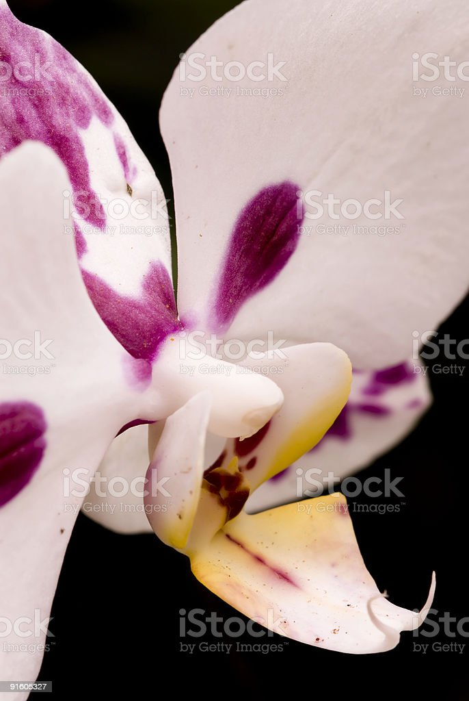 White and Pink Orchid stock photo