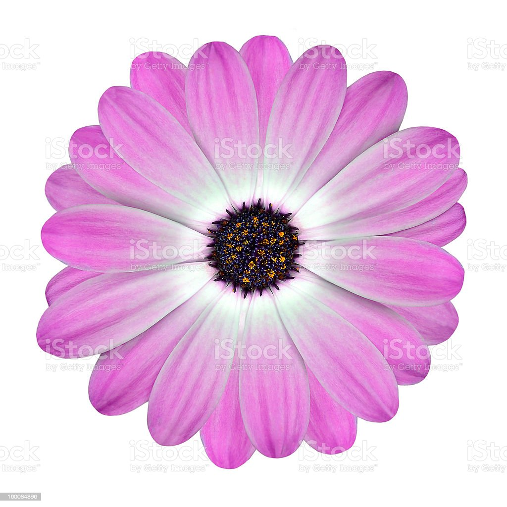 White and Pink Osteospermum Daisy Flower isolated royalty-free stock photo