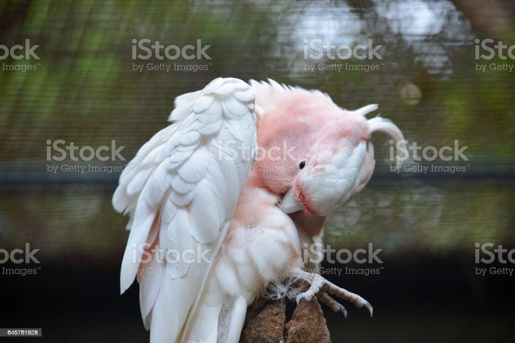 White and pink parrot, Australia stock photo