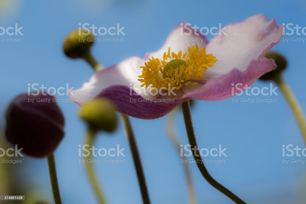 White and pink poppy stock photo