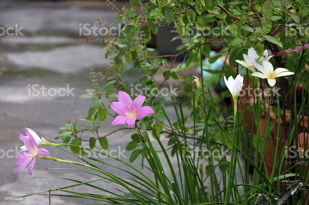 White and pink rain lily flower. (Zephyranthes) stock photo