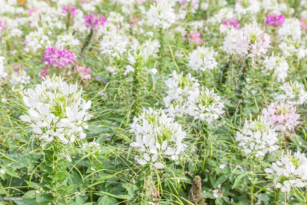 White and pink spider flowers (Cleome Spinosa) in the garden. stock photo