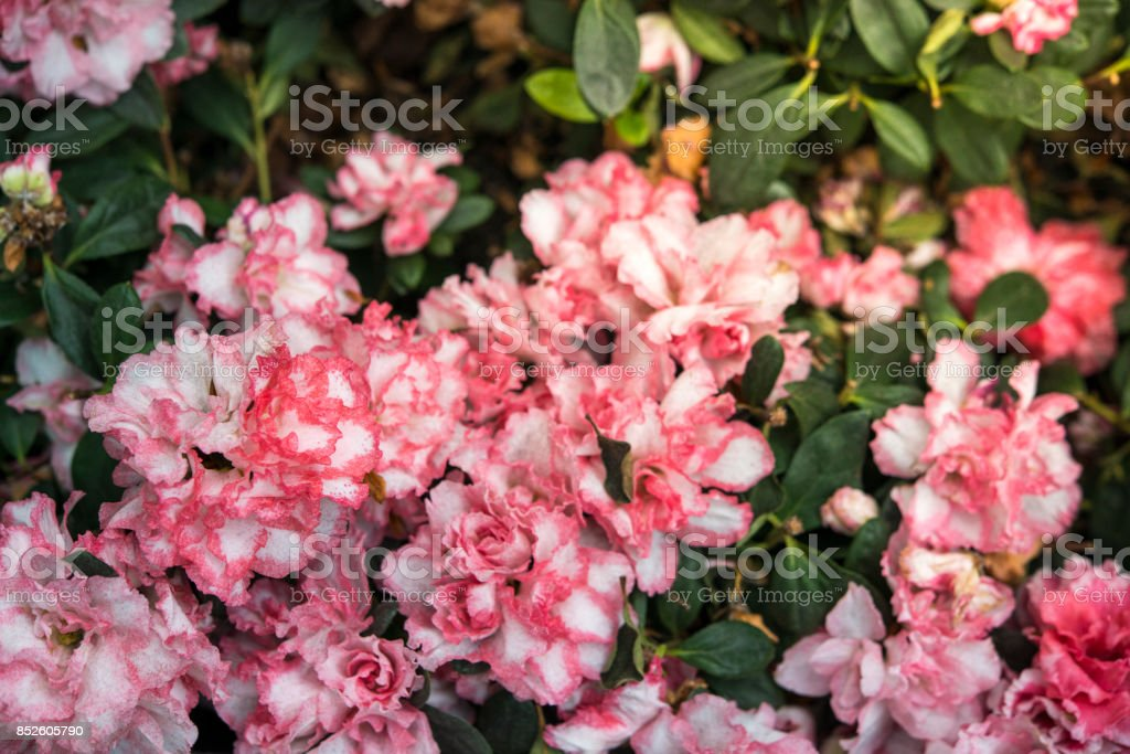 White and pink tiny flowers stock photo
