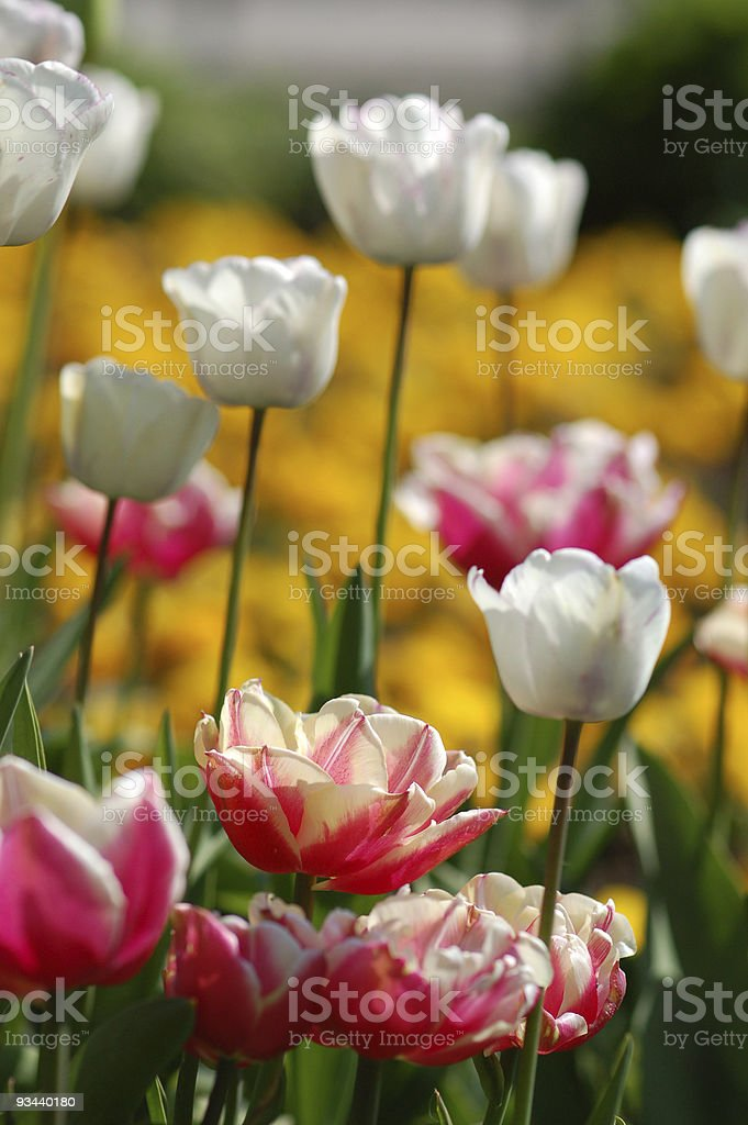 white and pink tulips stock photo