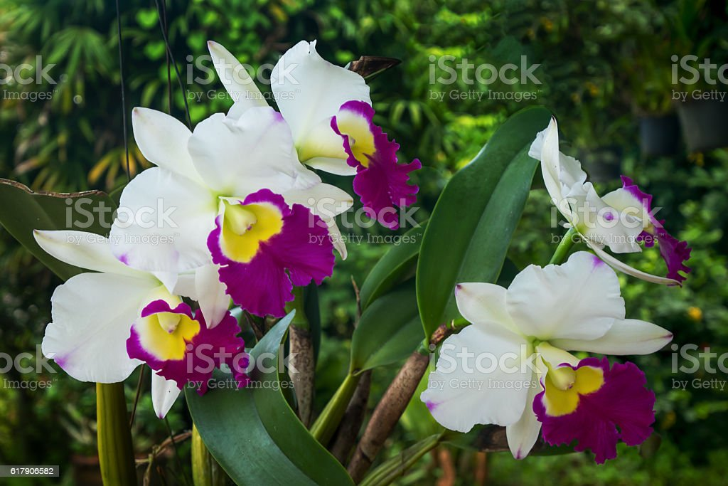 White and Purple Cattleya orchids stock photo