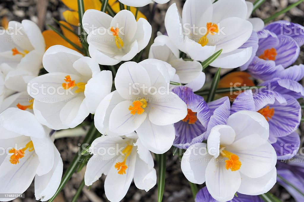 White and purple Crocus flowers stock photo
