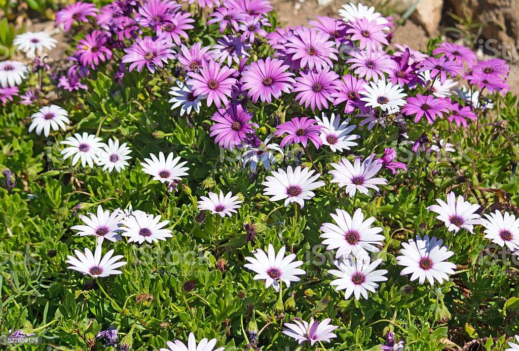 white and purple daisies stock photo