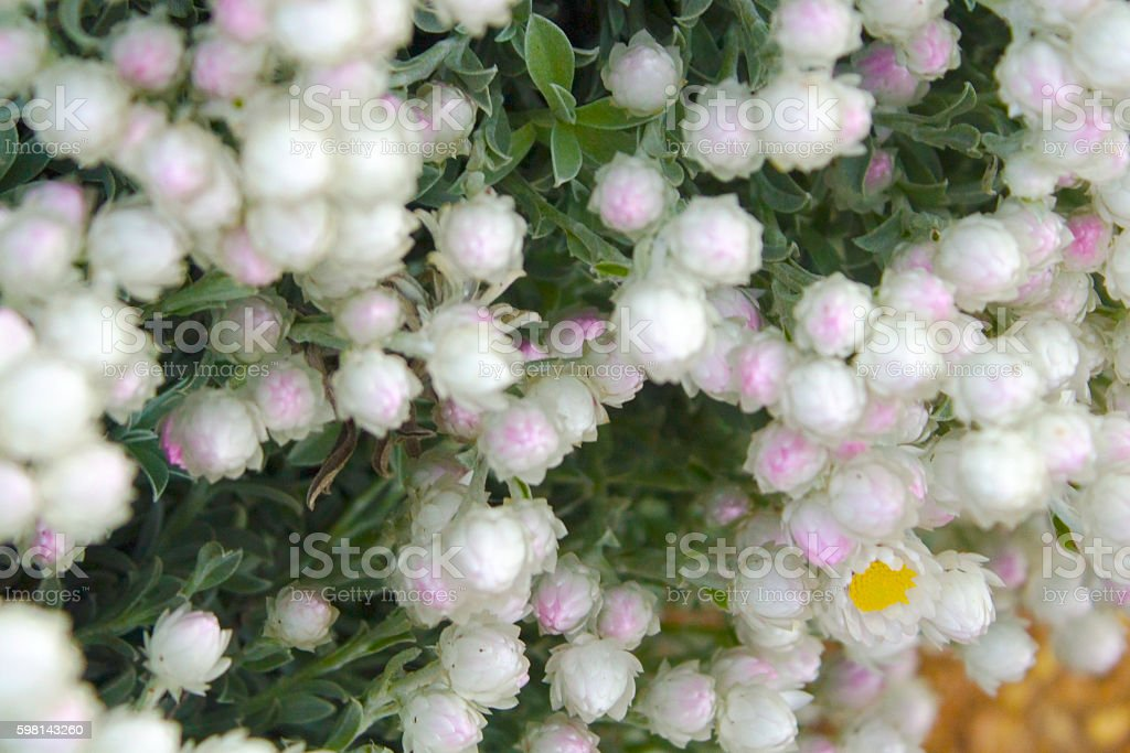 White and purple flower bush stock photo