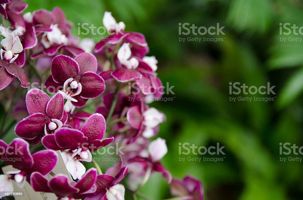 White and purple orchid royalty-free stock photo