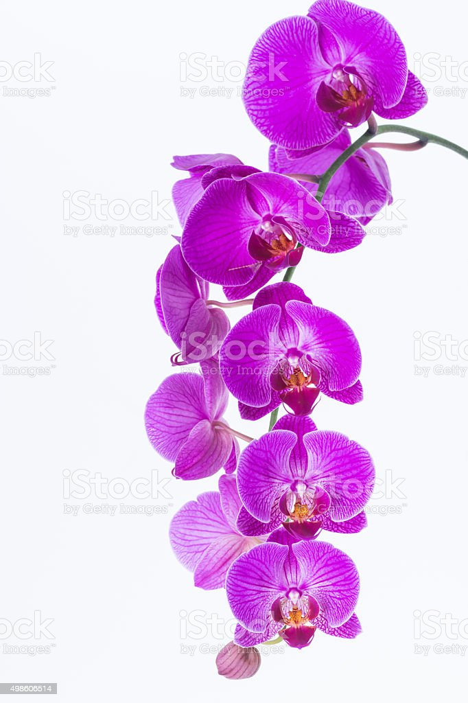 White and Purple Phalaenopsis Orchid stock photo