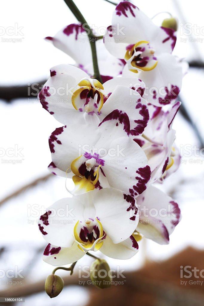 White and Purple Phalaenopsis stock photo