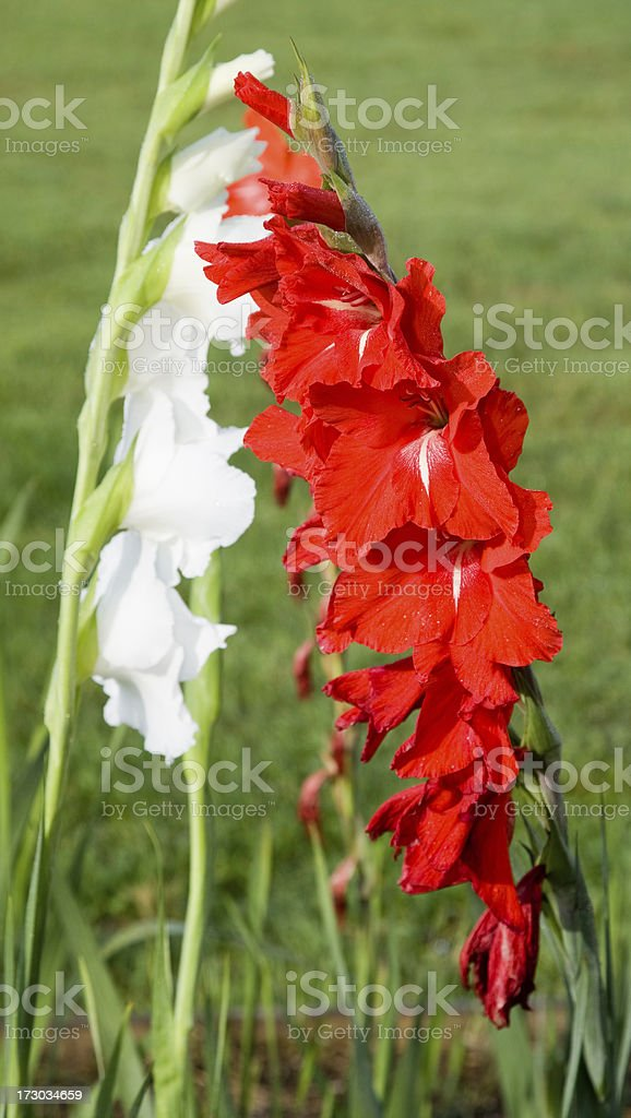 White and Red Gladiolus royalty-free stock photo