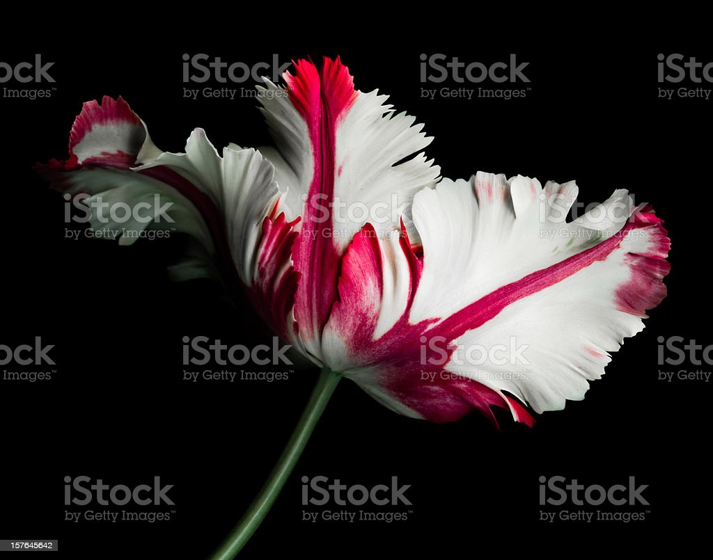 White and Red Parrot Tulip stock photo