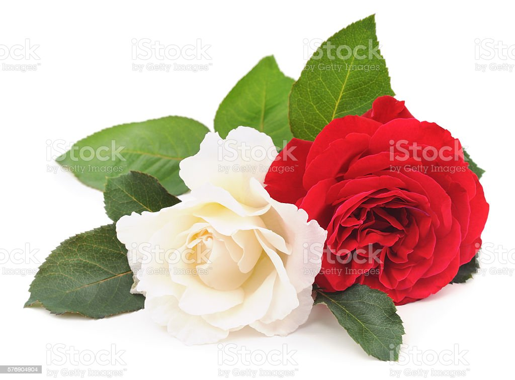 White and red rose. stock photo