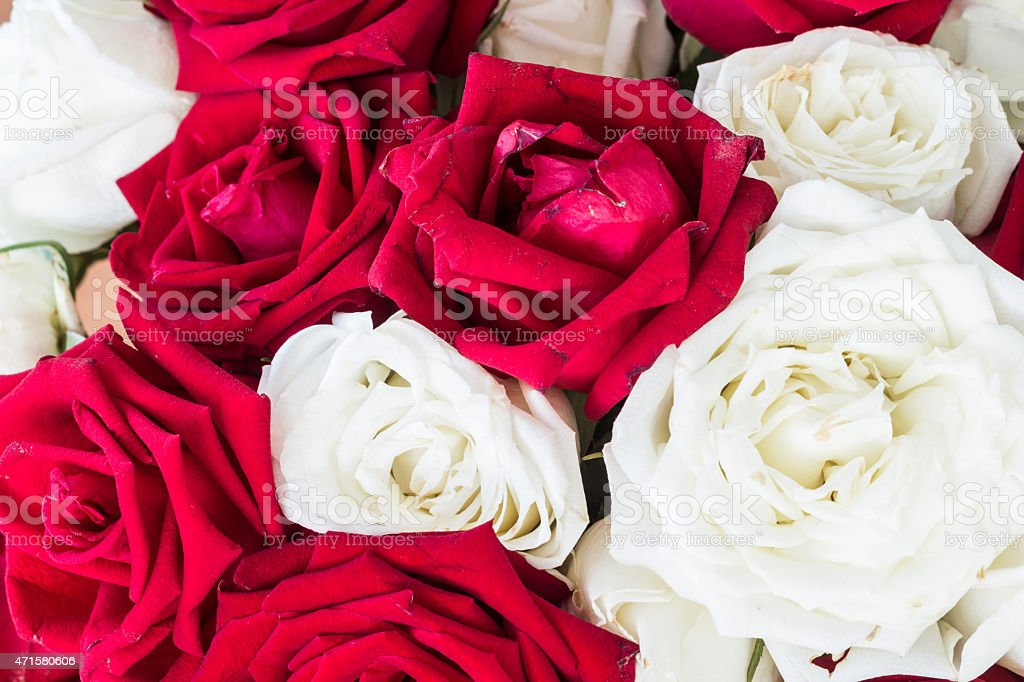 white and red roses stock photo