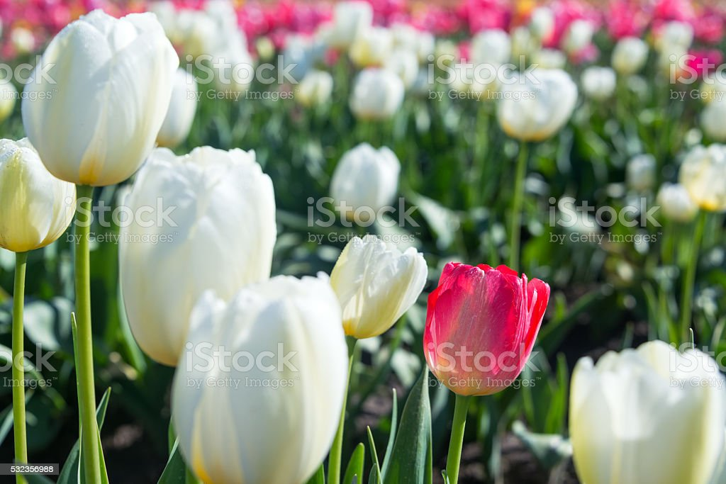 White and Red Tulip Closeup stock photo