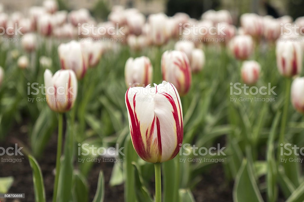 Bianco e rosso fiore di Tulipano in giardino foto stock royalty-free