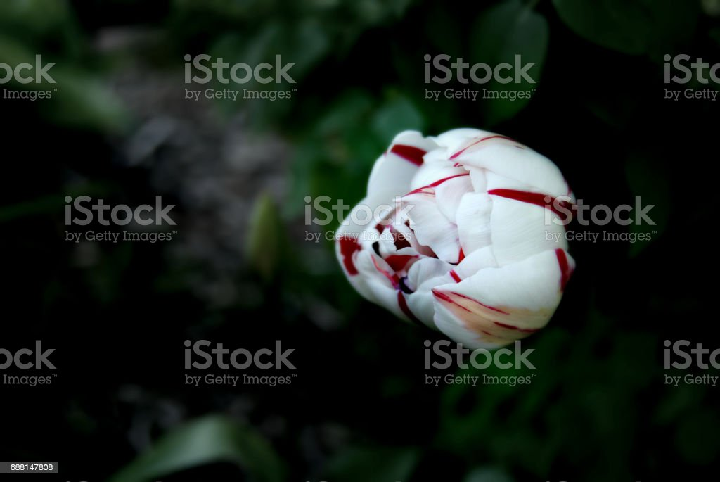 White and Red Tulip stock photo