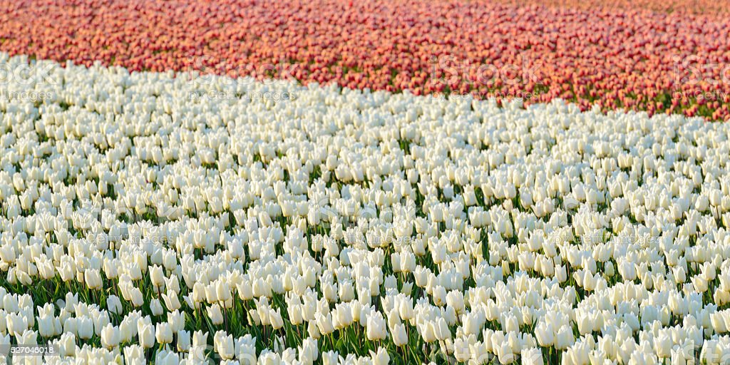 White and red Tulips during a beautiful spring day stock photo