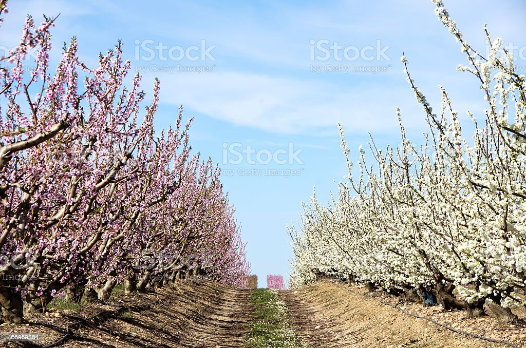 white and rose fruit trees in blossom stock photo