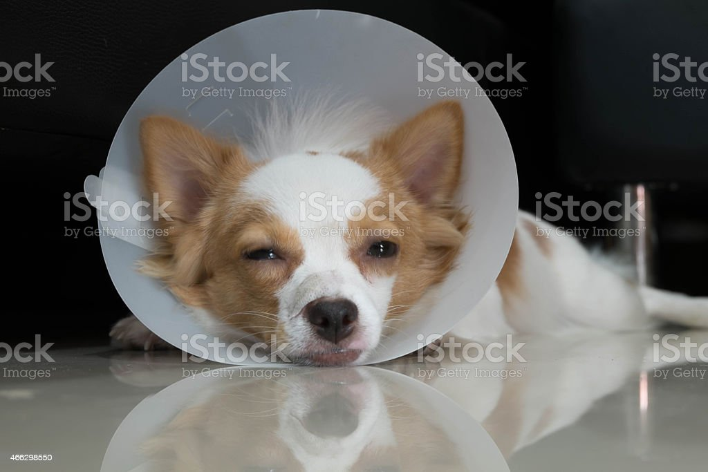 White and tan dog with Elizabethan collar lying down stock photo