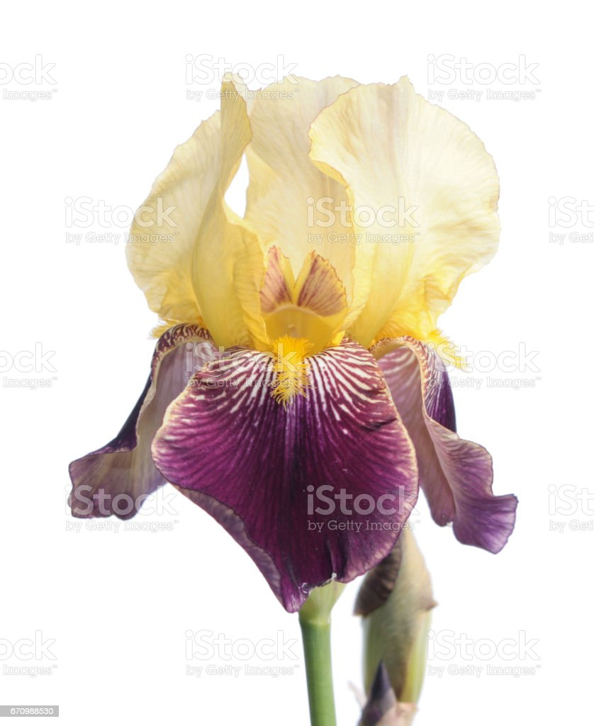 White and violet iris isolated on white background stock photo