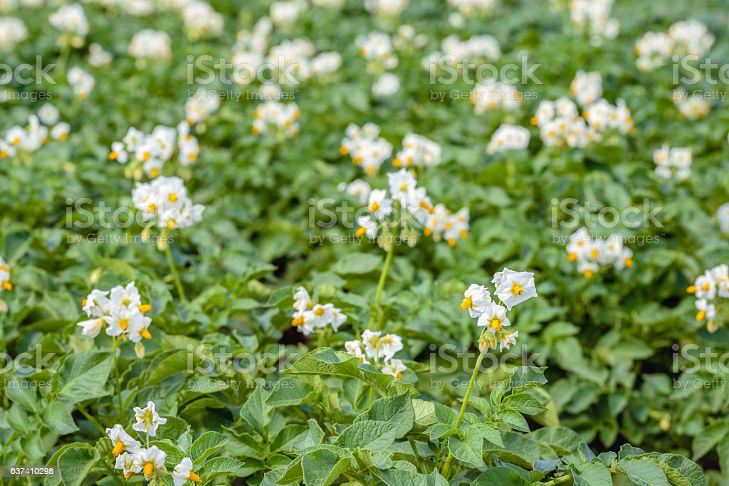 White and yellow blossoming potato plants from close stock photo