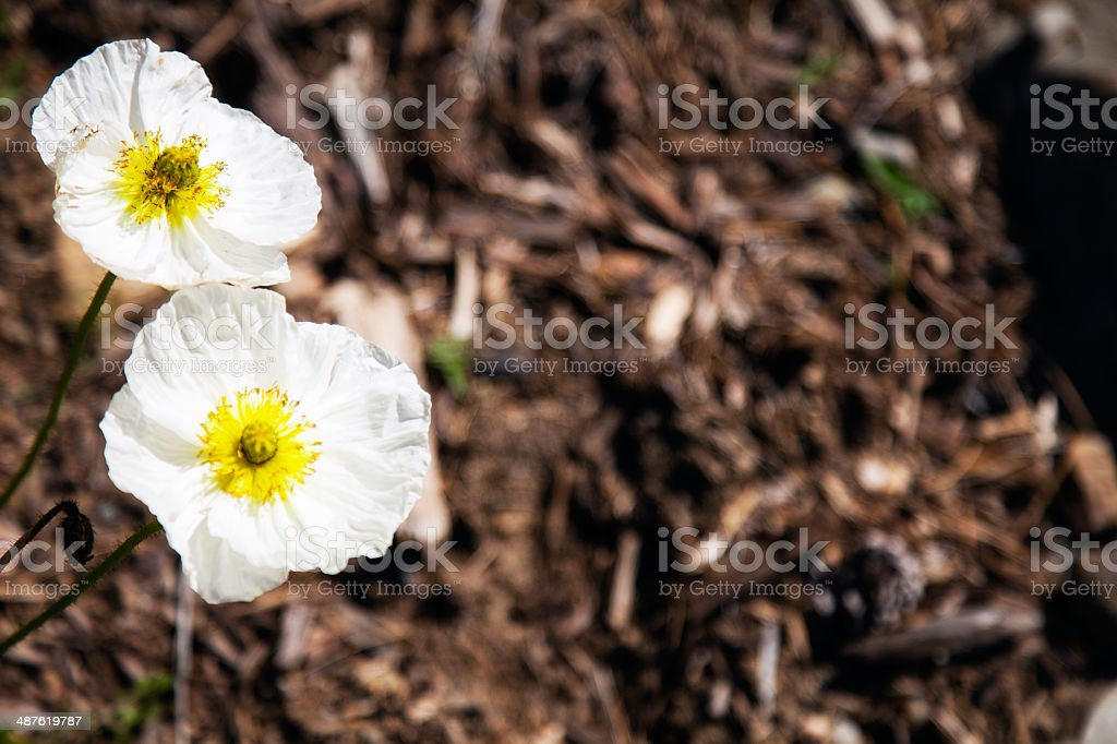 White and Yellow Blossoms in Natural Environment with Copy Space royalty-free stock photo