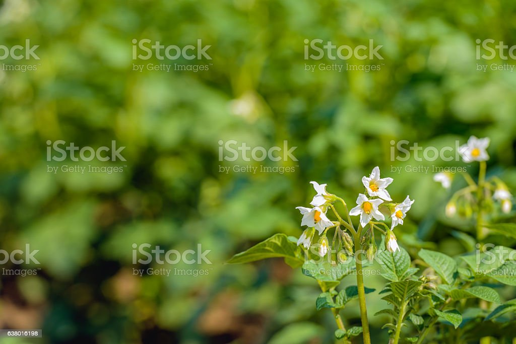White and yellow budding and blossoming potato plants from close stock photo