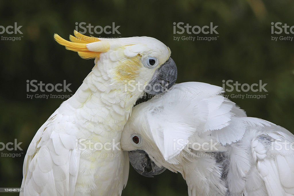 White and Yellow cockatoo stock photo