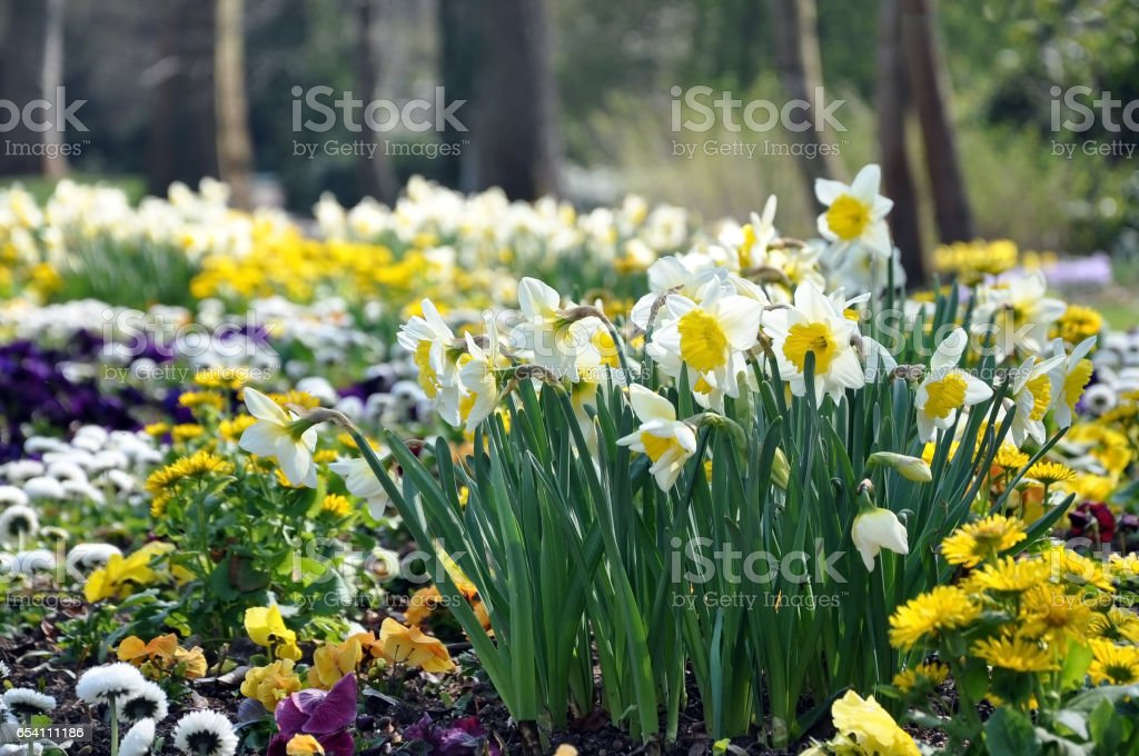White and yellow daffodils blooming in the garden in spring close-up. stock photo