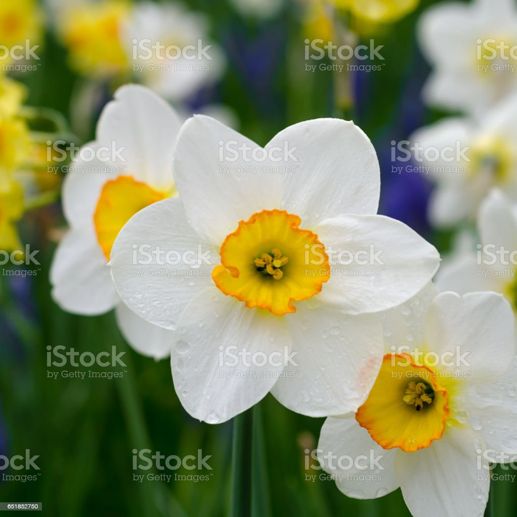 White and yellow daffodils in a park stock photo