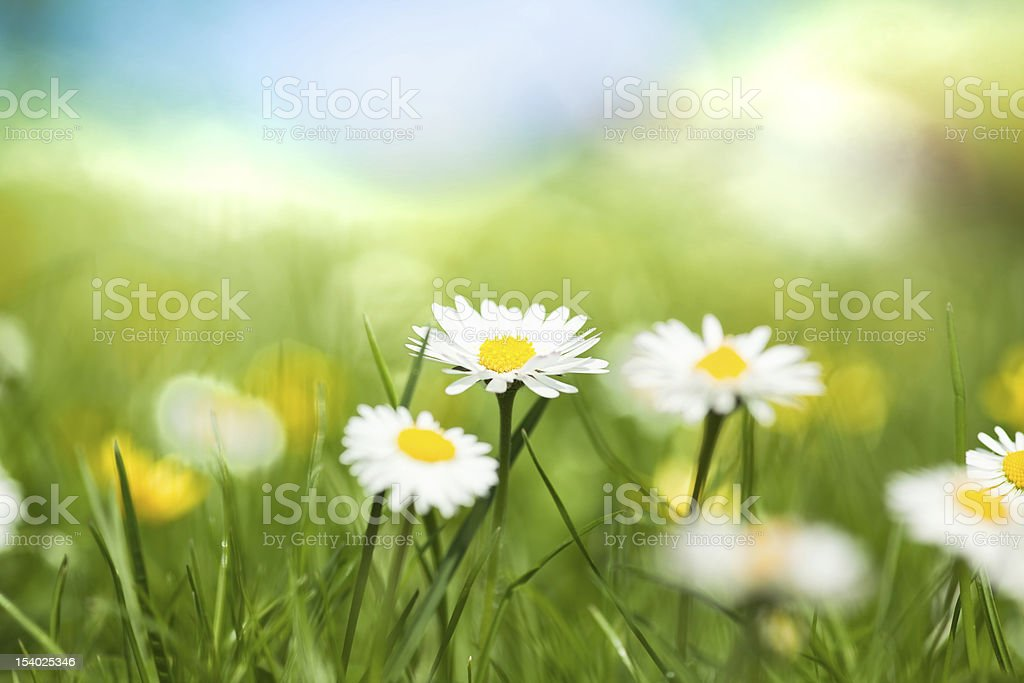 White and yellow daisies blooming in the grass royalty-free stock photo