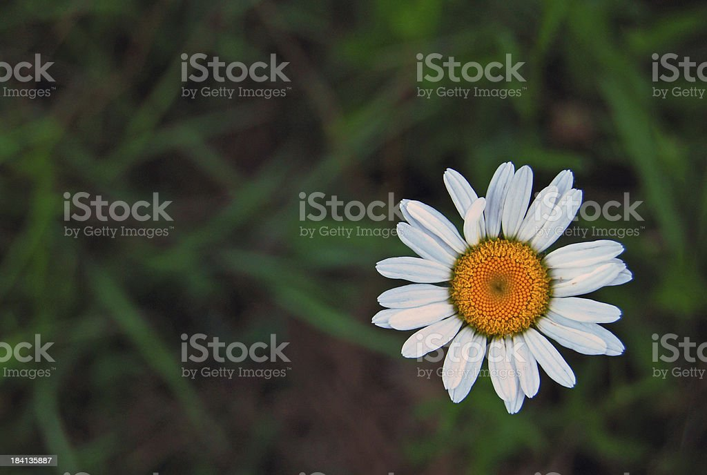 White and yellow daisy on a field of green grass royalty-free stock photo