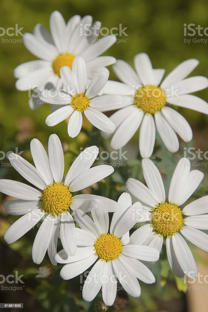 White and yellow flowers royalty-free stock photo
