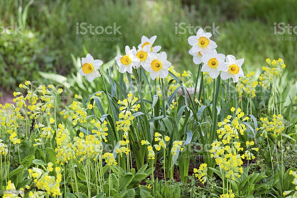White and yellow narcissus on landscaping design flower bed royalty-free stock photo